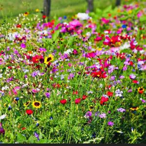 +5000 Samen Bienenweide Wildpflanzen Bienen WIESE SOMMER-BLUMEN Mehrjährig 12qm