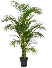 halbschatten zimmerpflanzen mit mittlerem wasserbedarf fr hling ebay. Black Bedroom Furniture Sets. Home Design Ideas