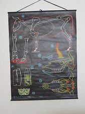 VINTAGE DR AUZOUX & P SOUGY PULL ROLL DOWN SCHOOL CHART OF A COW CATTLE BOVINE