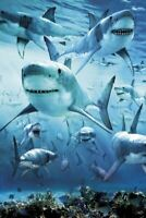 Great White Sharks Poster 24 X 36