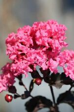 Black Diamond Shell Pink Crape Myrtle 6 to 12 inch+ Seedling Fast Growing