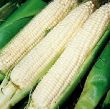 Corn Seeds Silver King Corn 50 Seeds