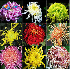 100 Pcs Mixed Color Chrysanthemum Seeds, Seed Germination Rate Of 95%