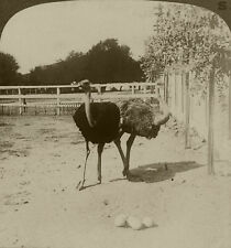 Underwood Stereoview Ostriches and Nest of Eggs From California Set 3 1910's #21