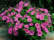 Petunia Seeds Trailing Petunia 25 Pelleted Seeds Ramblin Peach Glo