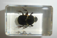 Scarab Dung Beetle Gymnopleurus sp. in Small Block  Education Insect Specimen