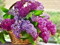 100Pcs Seeds Lilac Syringa Flowers Tree Rare Colors Kinds in Home Garden Bonsai