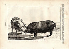 Cassell'S Mammals - Hampshire And Berkshire Boars - 150 Years Old Wood Engraving