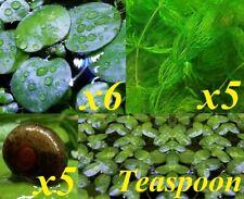5 Ramshorn Snails, 5 Hornworts, Teaspoon of Duckweeds and 6 Frogbits