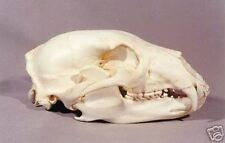 Black Bear Skull  REPLICA.