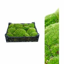 Plattenmoos, Bollenmoos ca 2,00 - 2,50 kg  Polstermoos naturgrün 40x30x8 cm
