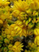 Conostylis aculeata  in 75mm supergro tube Native plant