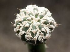 Astrophytum asterias cv. 'Super Kabuto' seeds (10 seeds per pack)
