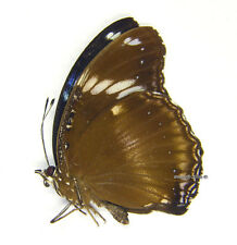 Unmounted Butterfly/Nymphalidae - Hypolimnas bolina philippensis, male, A-