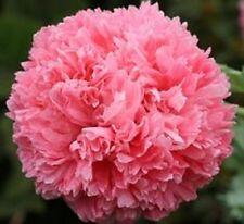 """Pink Peony Poppy """"Papaver Paeoniflorum"""" 100 Seeds"""