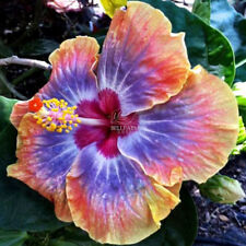 Hibiscus Rosa-sinensis Perennial Flower Seeds Bonsai Big Blooms Garden Plants