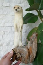 OLD NICE LOVELY *EUROPEAN WEASEL*, TAXIDERMY COLLECTORS, about 1970