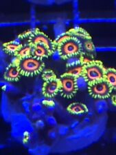 New listing Pop Corals Watermelon Zoas Wysiwyg Live Coral Frag - Pop Corals Candy Shop