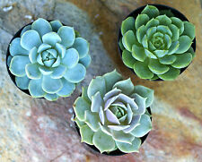 3 Varieties of Echeveria Succulents in 2.5 inch pots - Rooted Rosettes