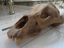 More details for reduced fossil cave type bear skull extinct ursus rare large adult huge 16.5