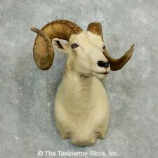 #17637 E | Dall Sheep Taxidermy Shoulder Mount For Sale