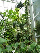 Chamaedorea metallica-the metallic palm - 10 fresh seeds