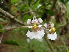 Orchid Plants Tolumnia (Oncidium) Variegata Orchid Species