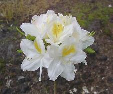 Gartenazalee Persil Rhododendron luteum 30-40cm Frühlingsblüher