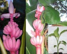 essbare Rosa Zwergbanane / winterharte Freiland-Banane für den Garten frostharte