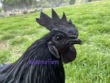 5+ Ayam Cemani Hatching Eggs - Rare Chicken Eggs For Hatching