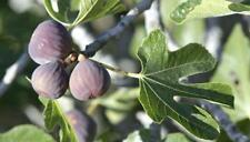 Ficus carica CHICAGO HARDY FIG TREE - 1 Plant!