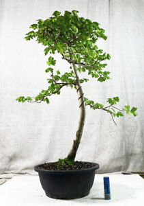 Field maple bonsai tree - Acer campestre (outdoor)