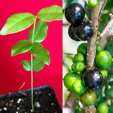 Jaboticaba Myrciaria Cauliflora Brazilian Sabara Grape Seedling Plant Fruit Tree