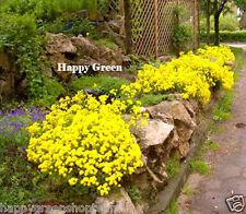 Montaña De Oro cesta Alyssum montanum 350 Semillas perenne rocosa Flor