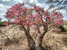 Exotic Authentic African Desert rose Bonsai seeds fresh from Canada