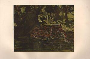 1901 STUDIO PRINT ~ A JAGUAR by J. M. SWAN