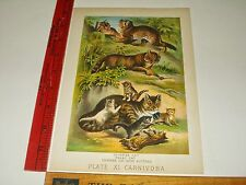 Rare Antique Chinese Malay Common Cat Kittens Plate XI Carnivora Color Art Print