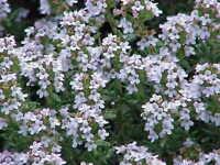 winterharte Garten Pflanzen Samen exotische Zierpflanze ganzjährig THYMIAN