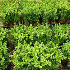 54  Box Hedge Plants (Buxus) Hedging Evergreen Top Quality 15-20cm tall e266