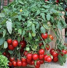 Cherry Falls Tomato Seed