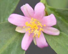 """* Pereskia weberiana caudiciform exotic bonsai rare plant cactus caudex cacti 4"""""""