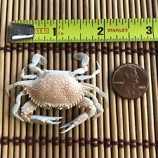 Medium Air Dried Fl Beach Crab Whole Body Carapaces Preserved Sea Shell Craft