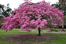 Pink Trumpet Tree (Tabebuia impetiginosa) -  15 Fresh Seeds