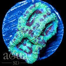 New listing Asd - 057 Super Mint Acan - Wysiwyg - Aqua Sd Live Coral Frag