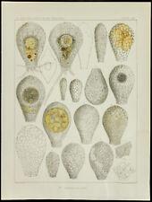 1879 - Planche médecine amibe - Nebela Collaris - Leidy - biologie