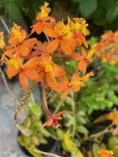 Epidendrum-Orange-Flowers Orchid 5 plants In A Pot