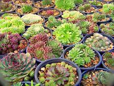 15x Sempervivum Hybride Hybriden Hauswurz Sukkulenten Steingarten