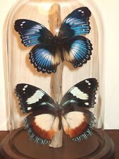 Madagascan & Blue Egg-fly Butterfly Dome
