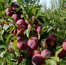 Crisp/Sweet & Tangy/Delicious PLUM Tree/5-Finest Seeds/Hardy Variety For UK