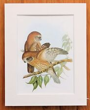 Australian Owl 2 - Mounted Vintage John Gould Bird Print, 1960s Book Plate